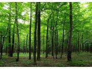 Fototapeta AG Listnatý les FTNS-2446 | 360x270 cm Fototapety vliesové