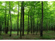 Fototapeta AG Listnatý les FTNS-2446 | 360x270 cm Fototapety vliesové - Vliesové fototapety AG