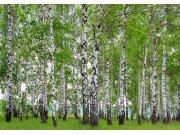 Fototapeta AG Břízový les FTNS-2448 | 360x270 cm Fototapety vliesové - Vliesové fototapety AG