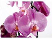 Fototapeta AG Orchidej FTNS-2459 | 360x270 cm Fototapety vliesové