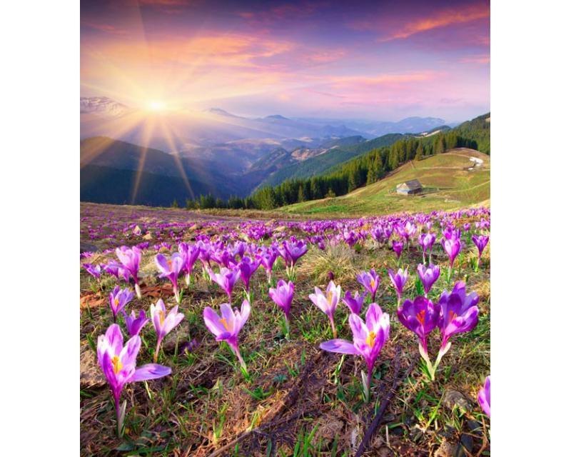 Vliesové fototapety na zeď Krokusy na jaře | MS-3-0064 | 225x250 cm - Fototapety vliesové