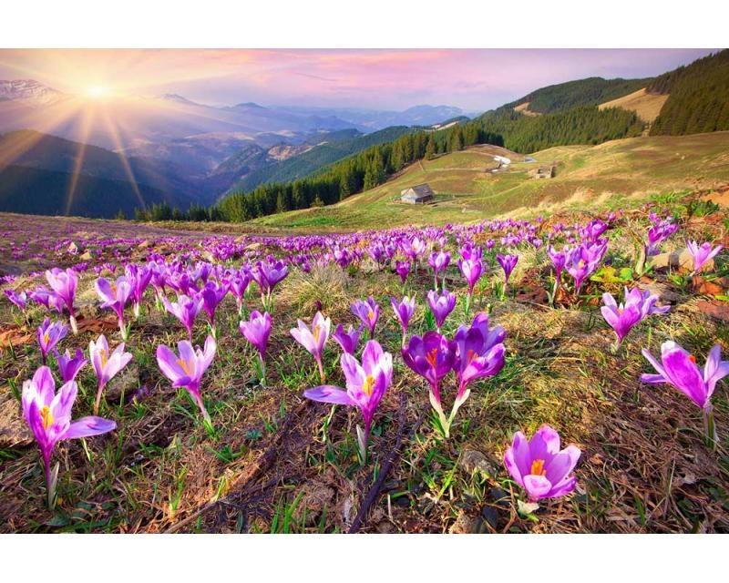 Vliesové fototapety na zeď Krokusy na jaře | MS-5-0064 | 375x250 cm - Fototapety vliesové