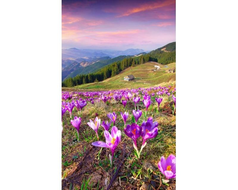 Vliesové fototapety na zeď Krokusy na jaře | MS-2-0064 | 150x250 cm - Fototapety vliesové
