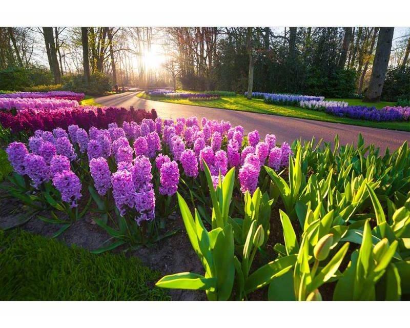 Vliesové fototapety na zeď Květy hyacintu | MS-5-0068 | 375x250 cm - Fototapety vliesové