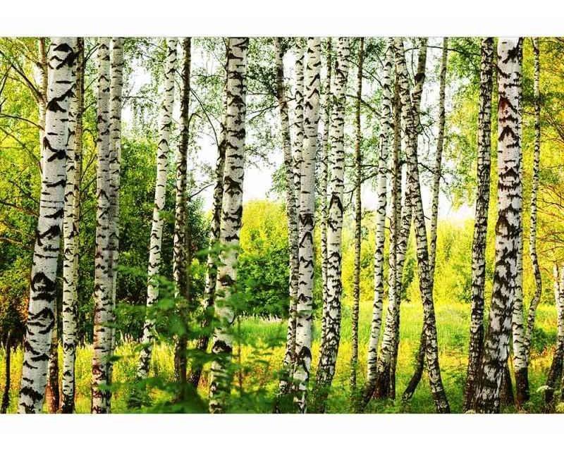 Vliesové fototapety na zeď Březový les   MS-5-0094   375x250 cm - Fototapety vliesové