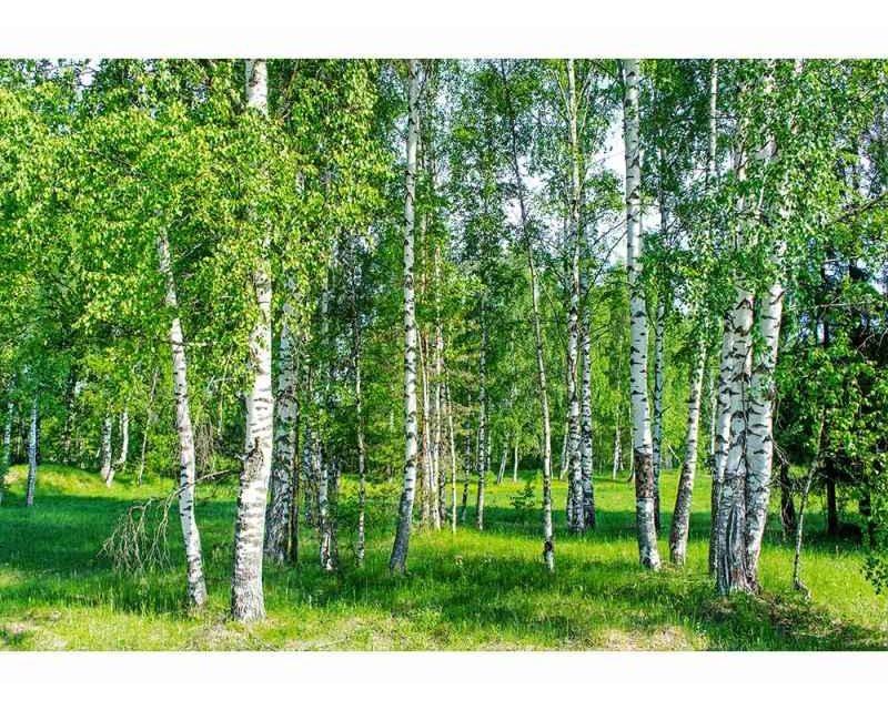Vliesové fototapety na zeď Březový háj | MS-5-0100 | 375x250 cm - Fototapety vliesové