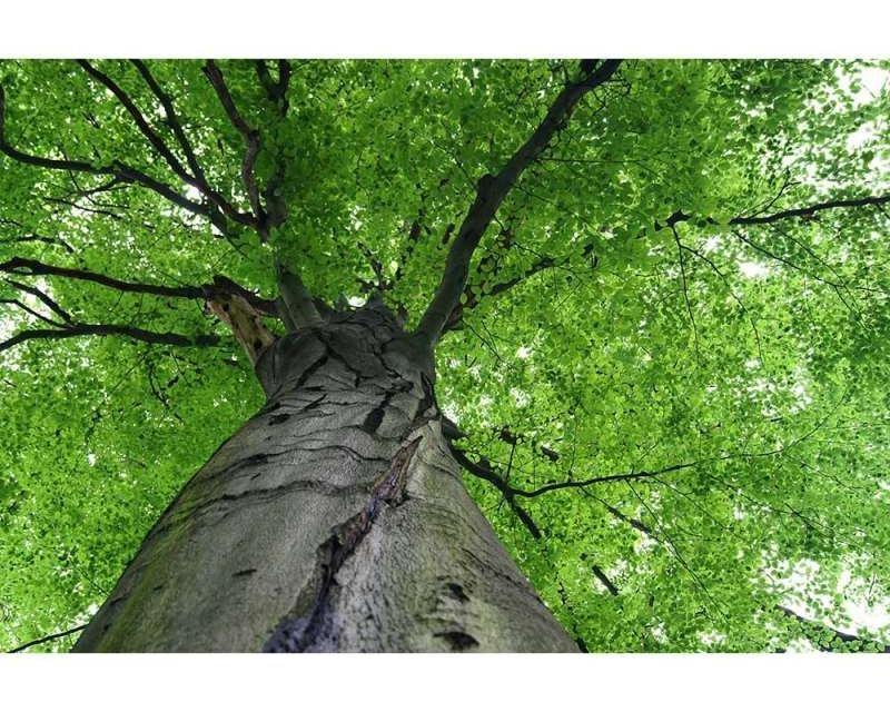 Vliesové fototapety na zeď Koruna stromu | MS-5-0101 | 375x250 cm - Fototapety vliesové