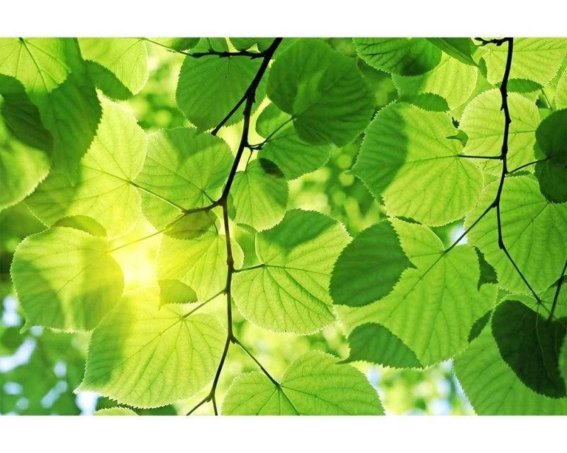Vliesové fototapety na zeď Zelené listy | MS-5-0107 | 375x250 cm - Fototapety vliesové