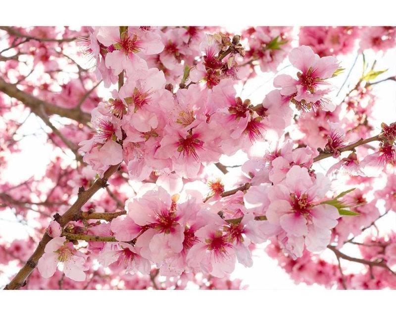 Vliesové fototapety na zeď Květy jabloní | MS-5-0108 | 375x250 cm - Fototapety vliesové
