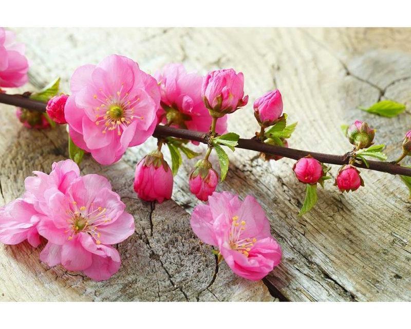 Vliesové fototapety na zeď Sakura | MS-5-0109 | 375x250 cm - Fototapety vliesové
