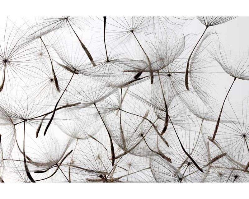 Vliesové fototapety na zeď Chmýří pampelišky | MS-5-0122 | 375x250 cm - Fototapety vliesové