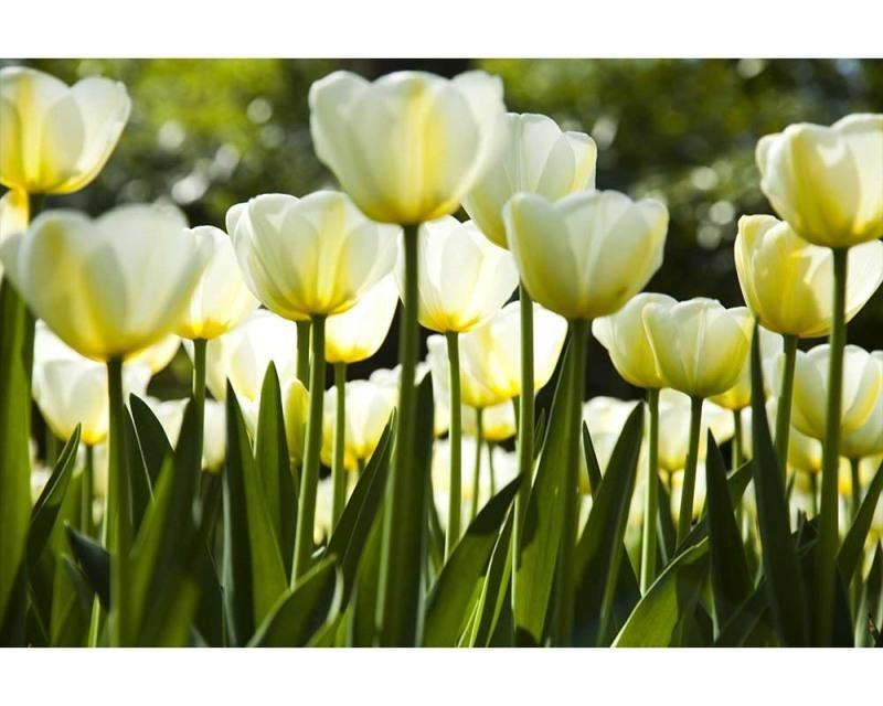 Vliesové fototapety na zeď Bílé tulipány | MS-5-0127 | 375x250 cm - Fototapety vliesové