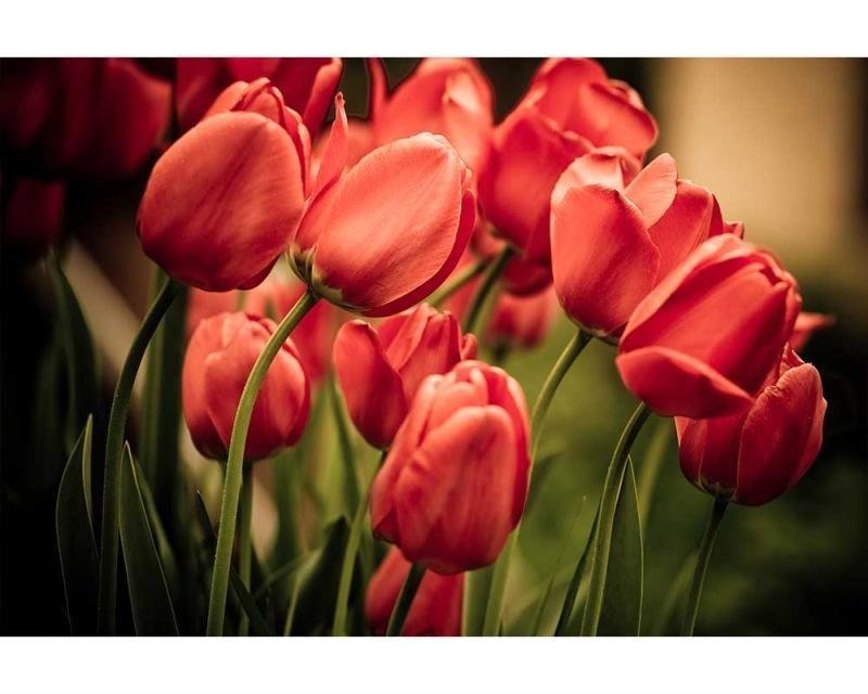 Vliesové fototapety na zeď Červené tulipány | MS-5-0128 | 375x250 cm - Fototapety vliesové