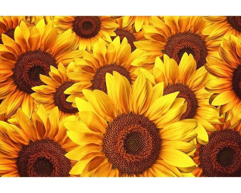 Vliesové fototapety na zeď Lán slunečnic | MS-5-0129 | 375x250 cm - Fototapety vliesové