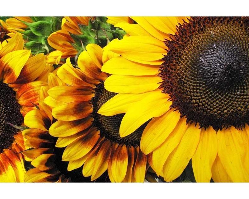 Vliesové fototapety na zeď Slunečnice | MS-5-0130 | 375x250 cm - Fototapety vliesové