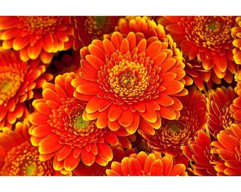 Vliesové fototapety na zeď Gerbera | MS-5-0131 | 375x250 cm - Fototapety vliesové