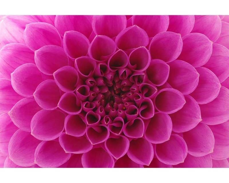 Vliesové fototapety na zeď Růžová jiřina | MS-5-0132 | 375x250 cm - Fototapety vliesové