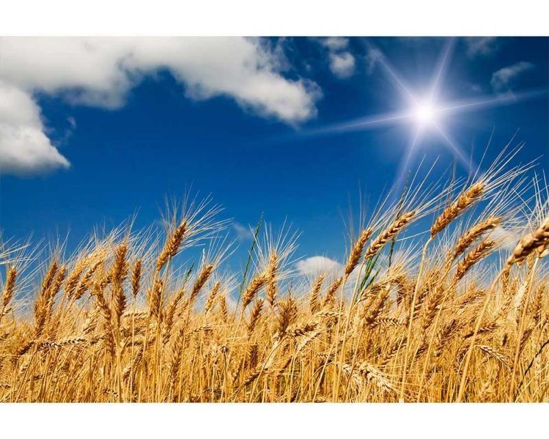 Vliesové fototapety na zeď Pšeničné pole | MS-5-0136 | 375x250 cm - Fototapety vliesové