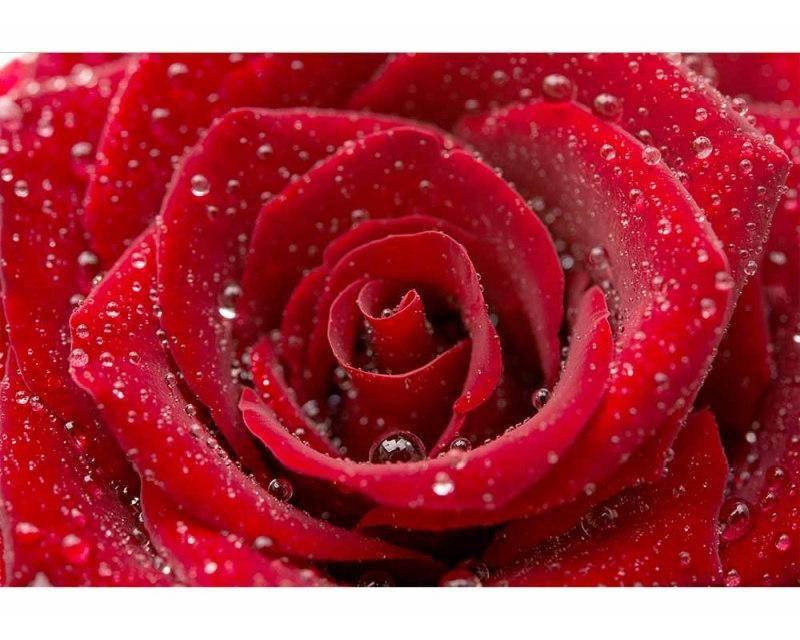 Vliesové fototapety na zeď Červená růže | MS-5-0138 | 375x250 cm - Fototapety vliesové