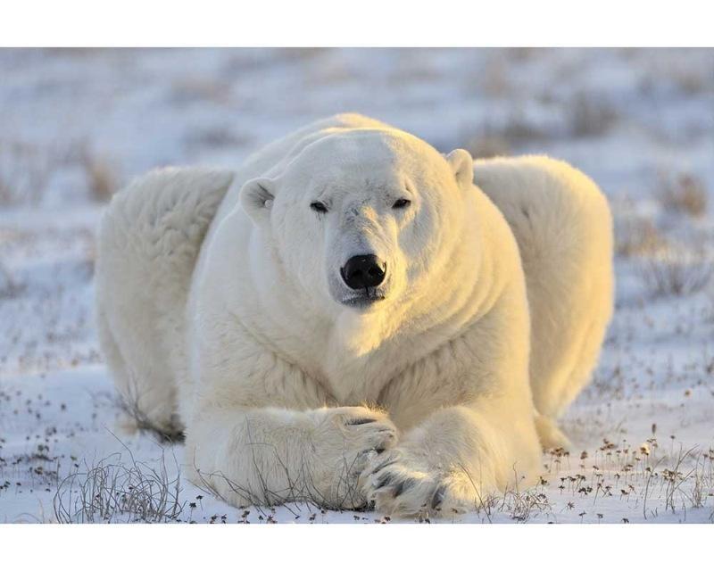 Vliesové fototapety na zeď Lední medvěd | MS-5-0220 | 375x250 cm - Fototapety vliesové
