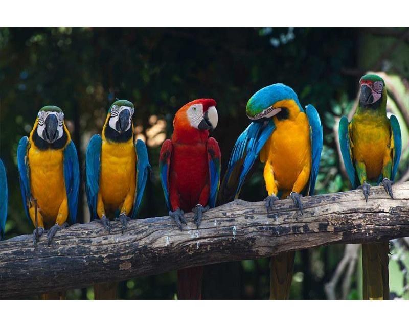 Vliesové fototapety na zeď Barevní papoušci Ara | MS-5-0223 | 375x250 cm - Fototapety vliesové