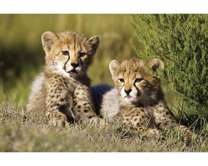 Vliesové fototapety na zeď Gepardi | MS-5-0229 | 375x250 cm - Fototapety vliesové