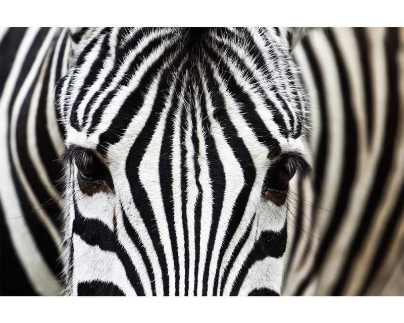Vliesové fototapety na zeď Zebra | MS-5-0234 | 375x250 cm - Fototapety vliesové