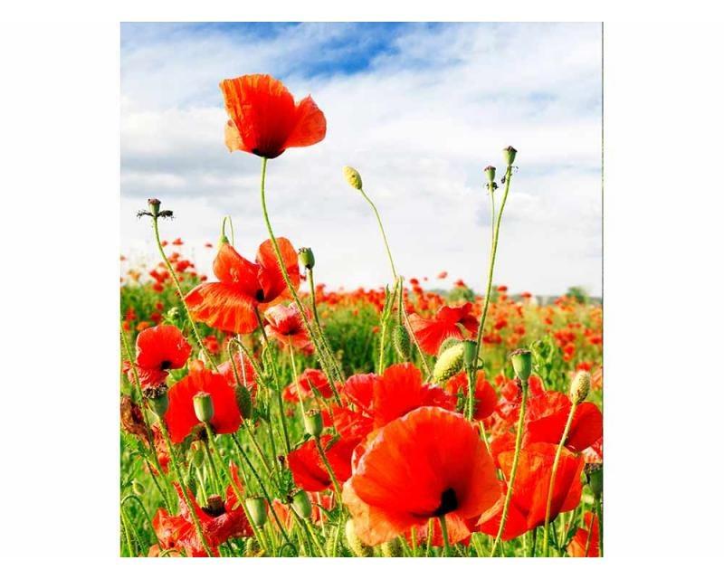 Vliesové fototapety na zeď Červený mák | MS-3-0090 | 225x250 cm - Fototapety vliesové