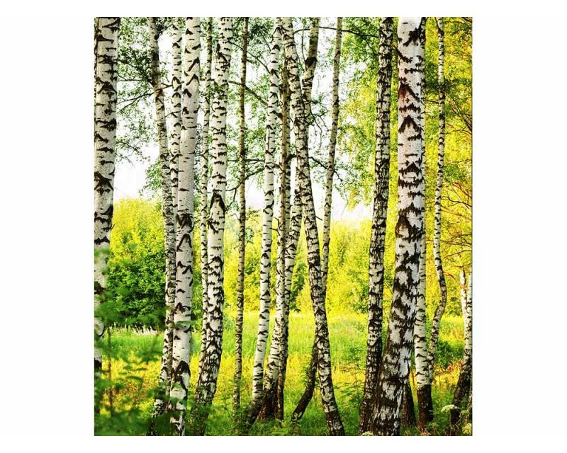 Vliesové fototapety na zeď Březový les | MS-3-0094 | 225x250 cm - Fototapety vliesové