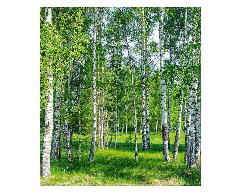 Vliesové fototapety na zeď Březový háj | MS-3-0100 | 225x250 cm - Fototapety vliesové