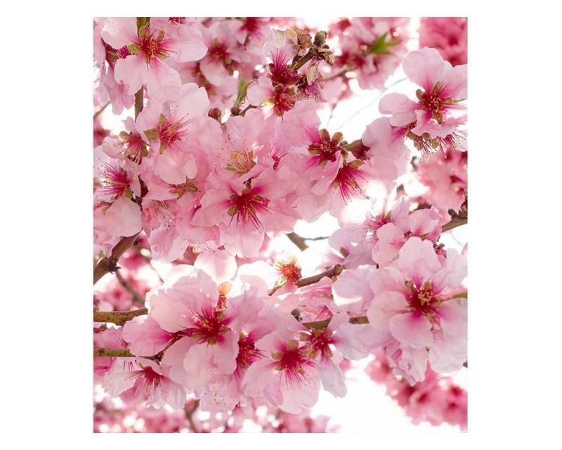 Vliesové fototapety na zeď Květy jabloní | MS-3-0108 | 225x250 cm - Fototapety vliesové