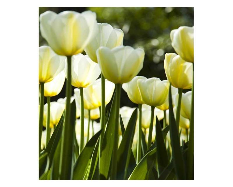 Vliesové fototapety na zeď Bílé tulipány | MS-3-0127 | 225x250 cm - Fototapety vliesové