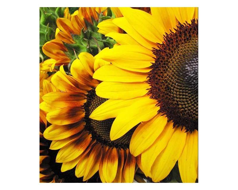 Vliesové fototapety na zeď Slunečnice | MS-3-0130 | 225x250 cm - Fototapety vliesové