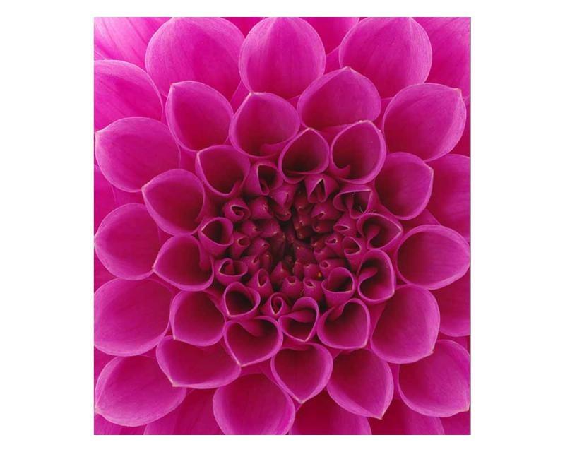 Vliesové fototapety na zeď Růžová jiřina | MS-3-0132 | 225x250 cm - Fototapety vliesové
