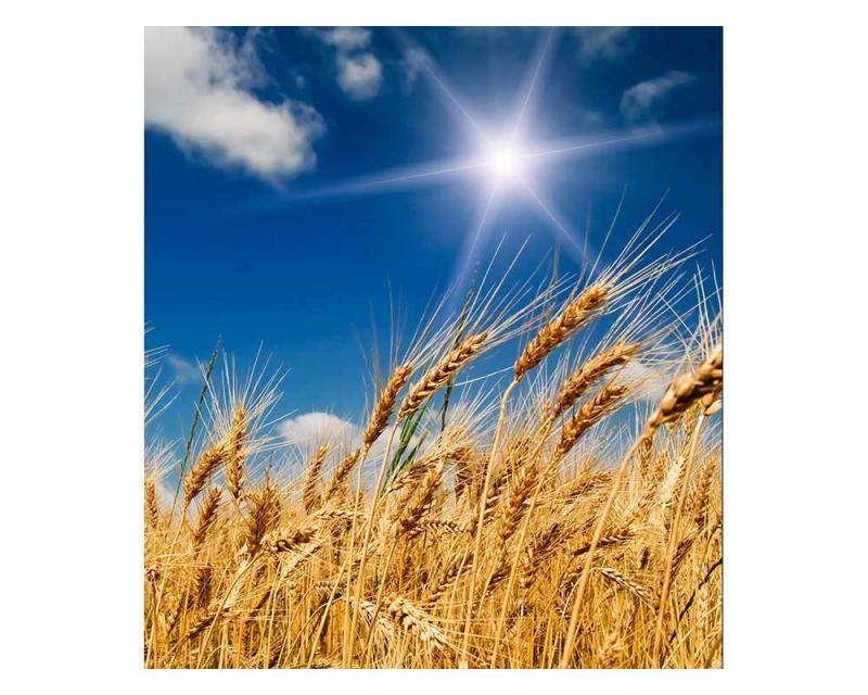 Vliesové fototapety na zeď Pšeničné pole | MS-3-0136 | 225x250 cm - Fototapety vliesové