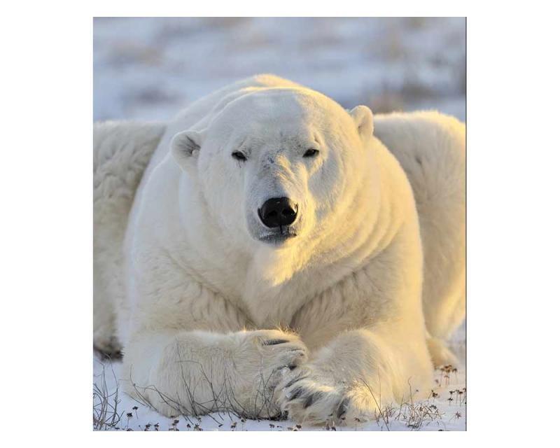 Vliesové fototapety na zeď Lední medvěd | MS-3-0220 | 225x250 cm - Fototapety vliesové