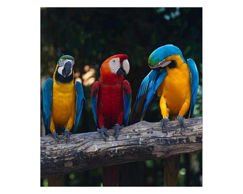 Vliesové fototapety na zeď Barevní papoušci Ara | MS-3-0223 | 225x250 cm - Fototapety vliesové