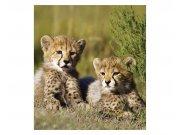 Vliesové fototapety na zeď Gepardi | MS-3-0229 | 225x250 cm Fototapety vliesové