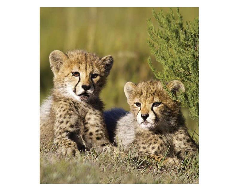 Vliesové fototapety na zeď Gepardi | MS-3-0229 | 225x250 cm - Fototapety vliesové