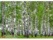Fototapeta AG Břízový les FTS-1304 | 360x254 cm Fototapety na zeď