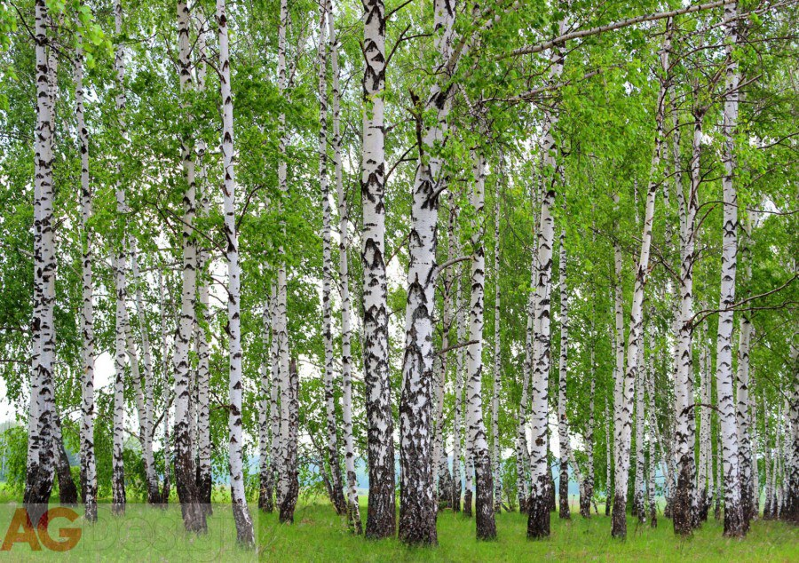 Papírová fototapeta Břízový les AG design FTS-1304, rozměry 360 x 254 cm