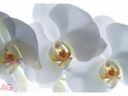 Fototapeta AG Bílá Orchidej FTNXXL-0466 | 360x270 cm Fototapety vliesové