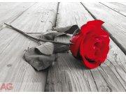 Fototapeta AG Red rose FTNM-2619   160x110 cm Fototapety skladem