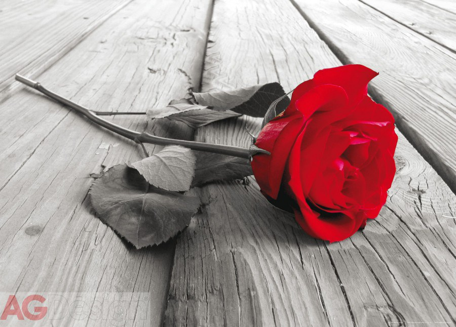 Fototapeta AG Red rose FTNM-2619 | 160x110 cm