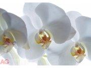 Fototapeta AG Bílé Orchideje FTSS-0832 | 180x127 cm Fototapety na zeď