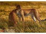 Fototapeta AG Leopard FTNXXL-0420 | 360x270 cm Fototapety vliesové - Vliesové fototapety AG