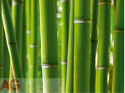 Fototapeta AG Bambus FTS-0170 | 360x254 cm Fototapety na zeď